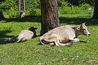 2016 Bordżomi, Byki leżące na trawie.jpg