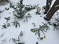 2017-03-14 09 26 57 Garden with blooming King Alfred Daffodils coated in snow and ice pellets along Tranquility Court in the Franklin Farm section of Oak Hill, Fairfax County, Virginia.jpg