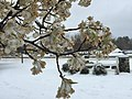 2017-03-14 09 31 54 Callery Pear blossoms coated in snow and ice pellets along Tranquility Lane in the Franklin Farm section of Oak Hill, Fairfax County, Virginia.jpg