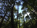 2017-08-19 11 35 12 View up into the canopy of a grove of Eastern Hemlocks along the Bull Run-Occoquan Trail between the Yellow Trail and the Red Trail within Hemlock Overlook Regional Park, in southwestern Fairfax County, Virginia.jpg