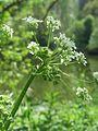20170509Chaerophyllum temulum3.jpg