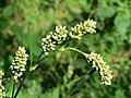 20170815Persicaria lapathifolia.jpg