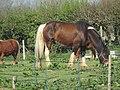2018-04-20 Shire Horse, Northrepps, Cromer.JPG