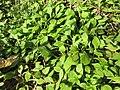 20190308Claytonia perfoliata1.jpg