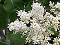 2020-05-27 06 59 00 Japanese tree lilac flowers along Tayloe Court in the Franklin Farm section of Oak Hill, Fairfax County, Virginia.jpg