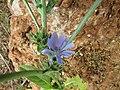 26-05-2017 Chicory (Cichorium intybus), Paderne.JPG