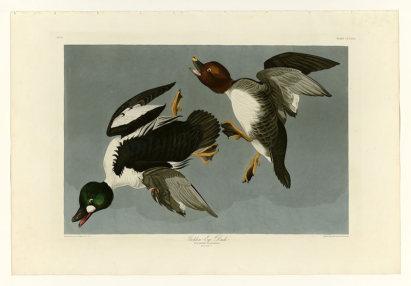 File:342 Golden-Eye Duck.jpg