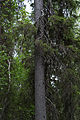375 year old norway spruce (Picea abies) (14379271907).jpg