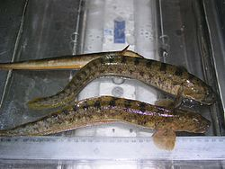 3 specimens of Zoarces viviparus.jpg