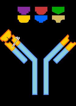 434px-AntibodyAR copy.png