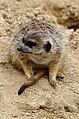 50 Jahre Knie's Kinderzoo - Suricata suricatta (Erdmännchen) 2012-10-03 16-22-29.JPG