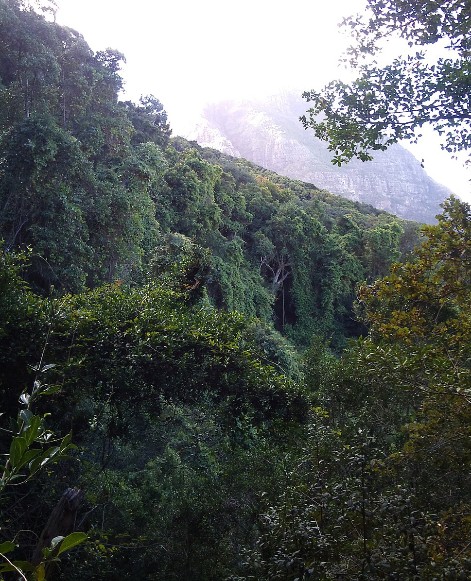 5 Indigenous Afrotemperate Forest on Devils Peak - Cape Town