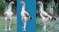 5 months old Sindhi Kaura Aseel chicken.jpg