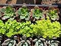 A Dozen Succulents (20741856432).jpg