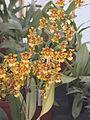 A and B Larsen orchids - Oncidium divaricatum DSCN1551.JPG
