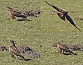 A buzzard (Buteo buteo) in the fields looking for food - panoramio.jpg