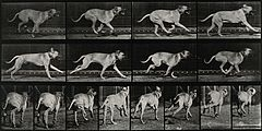 A dog running. Photogravure after Eadweard Muybridge, 1887. Wellcome V0048768.jpg