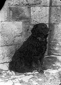 A retriever NLW3363265.jpg