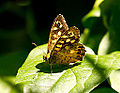 A speckled wood butterfly in sunlight.jpg