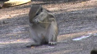 File:A squirrel eating.webm