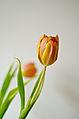 A tulip.jpg