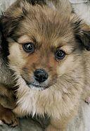 Puppy Wikipedia