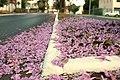 Aberta a temporada de ipês roxos em Brasília (41030201070).jpg