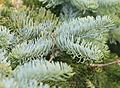 Abies procera (Noble fir) - Flickr - S. Rae (1).jpg