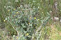 Abutilon austro-africanum -2181 - Flickr - Ragnhild & Neil Crawford.jpg