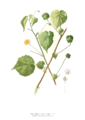 Abutilon indicum Blanco clean.png