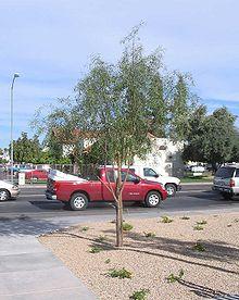 Acacia Salicina Wikipedia