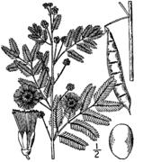 Acacia angustissima drawing.png