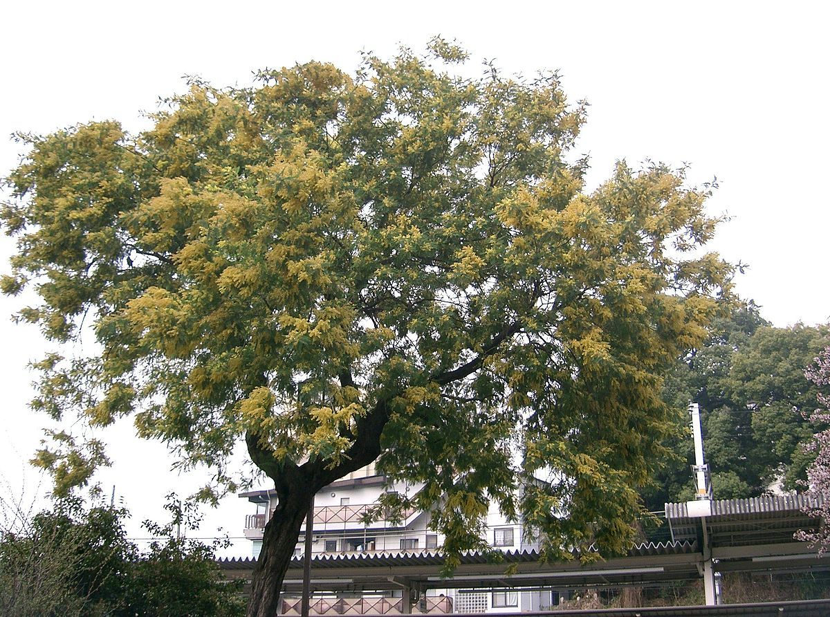 Mimosa d hiver wiktionnaire for Acacia albero
