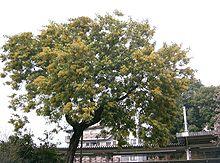 Una pianta di Acacia dealbata in fiore