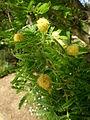 Acacia hebeclada 1c.JPG