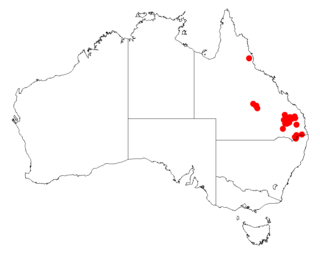 <i>Acacia striatifolia</i>