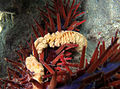 Acanthaster Glandes digestives.jpg