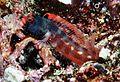 Acanthemblemaria stephensi.jpg