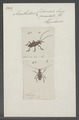 Acanthoderes - Print - Iconographia Zoologica - Special Collections University of Amsterdam - UBAINV0274 034 23 0024.tif