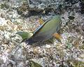 Acanthurus bahianus (ocean surgeonfish) (San Salvador Island, Bahamas) 5 (15965201927).jpg