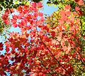 Acer japonicum Red leaves.JPG