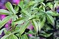 Acer palmatum Ukigumo 1zz.jpg