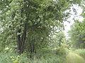 Acer saccharinum Grimes Farm 2.jpg