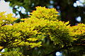 Aceraceae Acer sieboldianum Sibolds Ahorn Japan.JPG