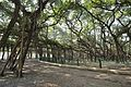 Acharya Jagadish Chandra Bose Indian Botanic Garden - Howrah 2011-01-08 9723.JPG