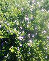Acmadenia heterophylla - South Africa.jpg