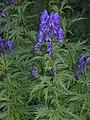 Aconitum napellus inflorescence (12).jpg