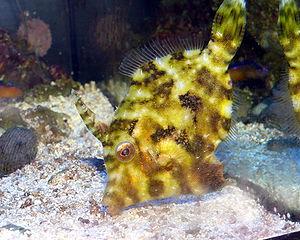 Acreichthys tomentosus - Image: Acreichthys tomentosus 2