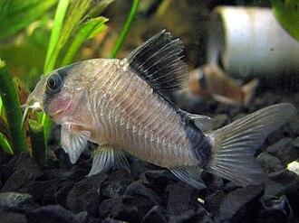 Adolfo's catfish - Image: Acuario