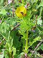 Adonis microcarpa Habitus 2011-3-21 CampodeCalatrava.jpg